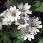 Geranium pyrenaicum Summer Snow