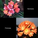 Clivia Hermione X Primrose