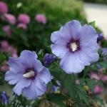 Hibiscus Azurri Satin