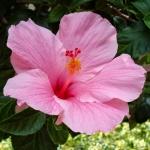 Hibiscus moscheutos Pink