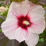 Hibiscus moscheutos Giant