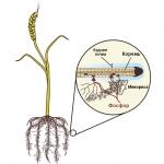 Микориза / Mycorrhizal TNC Endo