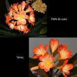 Clivia PMN Bi-color X Tansy