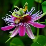Passiflora amethystina