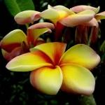 Plumeria Loungaumpan