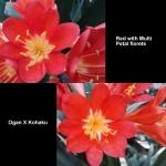 Clivia Red Multi Petal Ogan Kohaku