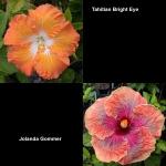 Tropical Hibiscus T Br Eye x J Gom