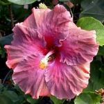 Tropical Hibiscus M Tev x RR