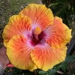 Tropical Hibiscus GP x T Spt Glxy
