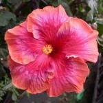 Tropical Hibiscus T Sp Rnb x T Autm Ody