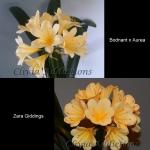 Clivia (Bodnant x Aurea) X Zara Giddings