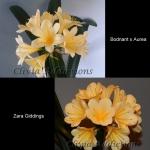 сеянец Clivia (Bodnant x Aurea) X Zara Giddings