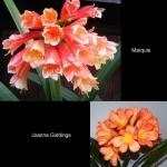 сеянец Clivia Marquis X Joanna Giddings