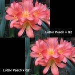 сеянец Clivia Lotter Peach Q2