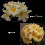 сеянец Clivia Moon Dance Apoline