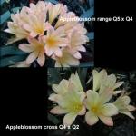 сеянец Clivia Appleblossom Q54 Q42