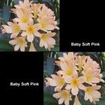 сеянец Clivia Baby Soft Pink