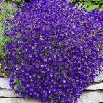Aubretia Cascade Blue