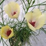 Alyogyne Hakeifolia Yellow