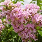 Lagerstroemia indica Light Pink